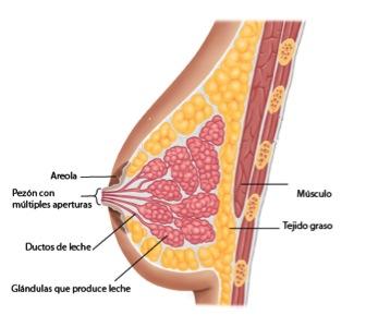 Conductos mamarios pecho materno