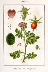 Fuente: http://caliban.mpipz.mpg.de/sturm/flora/index.html